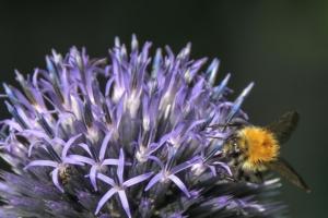 Rittersporn mit Hummel - Insekten leisten Service!