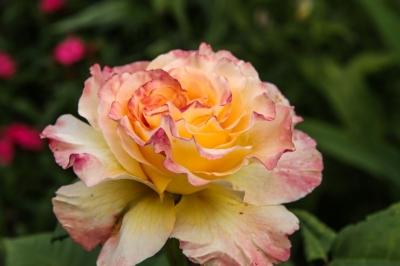 Goldener Schnitt in der Natur und auch der Kommunikation? Rosenblüte lädt zum Nachdenken ein!