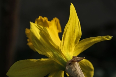 Osterglocken - unverkennbar, es ist Frühling und Ostern lädt zum Feiern ein.