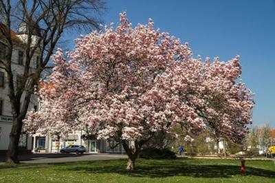 Besondere Attraktion alljährlich im Frühjahr am Torgauer Tor in Eilenburg - die Blütezeit der großen Magnolie, hier im Jahr 2015