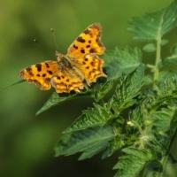 Ein Schmetterling ist ein schönes Symbol für Unternehmensberatung, kann das ein Gedicht auch?