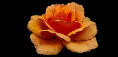 Rose vor Schwarz - ALLES GUTE IN 2019; GLÜCK; GESUNDHEIT UND IDEALEN ERFOLG!